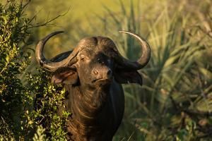 Portrait of a Cape Buffalo by Bob Smith