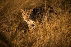 Portrait of a Female Leopard Stalking in Tall Grass by Bob Smith