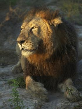 Portrait of a Lion, Panthera Leo, Resting in Late Evening Sunlight by Bob Smith