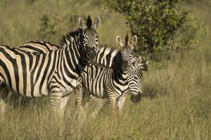 Three Burchell's Zebras in a Grassland by Bob Smith