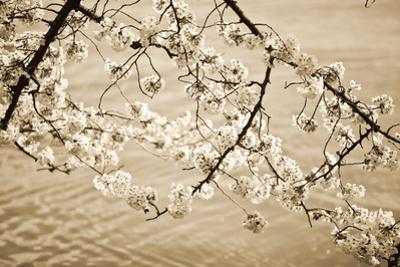 Sepia Cherry Blossoms II by Bob Stefko