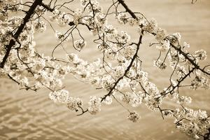 Sepia Cherry Blossoms II by Bob Stefko