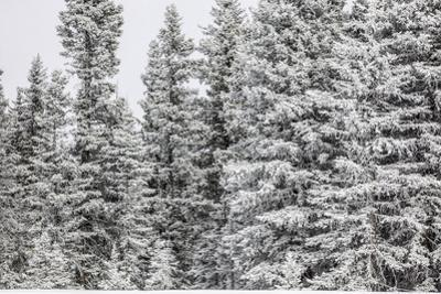 Snow Covered Pine Trees by Bob Stefko