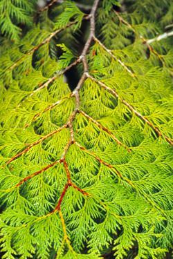 Western Red Cedar by Bob Stefko