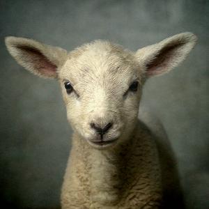Cute New Born Lamb by bob van den berg photography