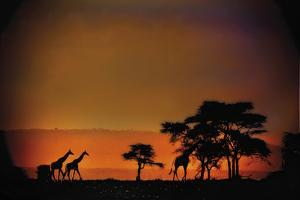 African Moonglow by Bobbie Goodrich
