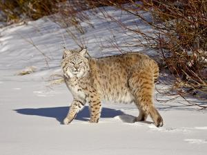 Bobcat (Lynx Rufus) in the Snow in Captivity, Near Bozeman, Montana, USA