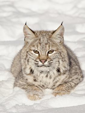 Bobcat (Lynx Rufus) in the Snow, in Captivity, Near Bozeman, Montana, USA