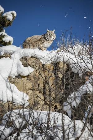 https://imgc.allpostersimages.com/img/posters/bobcat-lynx-rufus-montana-united-states-of-america-north-america_u-L-PWFQNE0.jpg?artPerspective=n