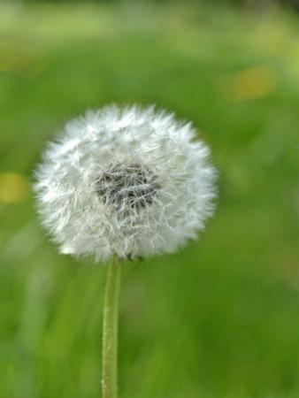 A Dandelion Clock in a Field