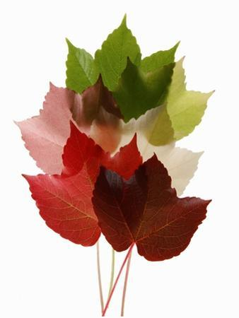 Colorful Virginia Creeper Leaves by Bodo A. Schieren