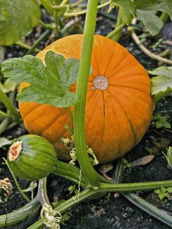Pumpkins on the Plant by Bodo A. Schieren