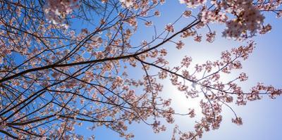 Sakura Blossom, Japan by Bogomyako