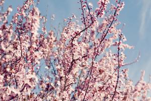 Pink Blossom by Bonita Cooke