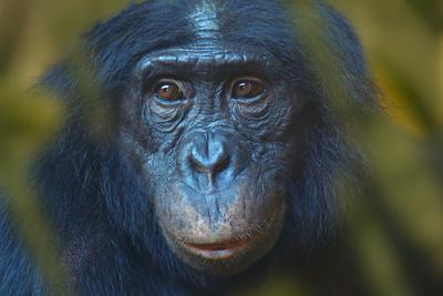https://imgc.allpostersimages.com/img/posters/bonobo-pan-paniscus-captive-portrait-occurs-in-the-congo-basin-leaves-digitally-added_u-L-Q13A70W0.jpg?p=0