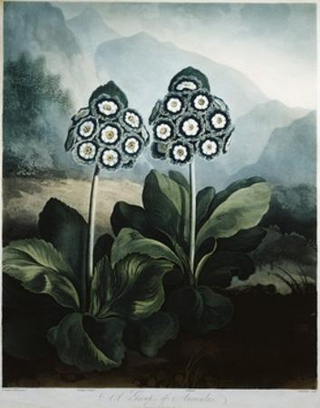 Book Illustration of a Group of Auriculas