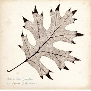 Black Oak Leaf by Booker Morey