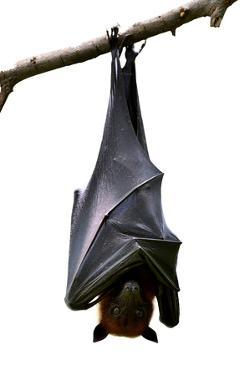 Bat, Hanging Lyle's Flying Fox Isolated on White Background, Pteropus Lylei by BOONCHUAY PROMJIAM