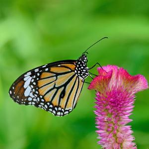 Monarch Butterfly by BOONCHUAY PROMJIAM