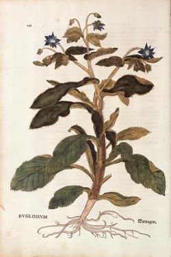Borage - Borago Officinalis (Buglossum) by Leonhart Fuchs from De Historia Stirpium Commentarii Ins