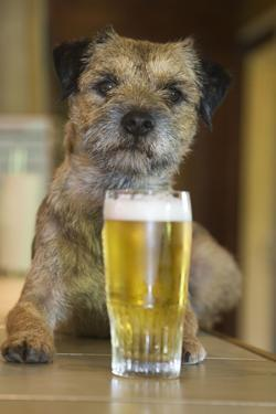 Border Terrier in Pub with Beer