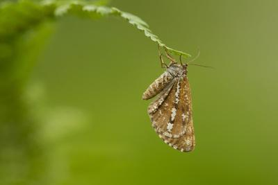 https://imgc.allpostersimages.com/img/posters/bordered-white-bupalus-piniaria-adult-moth-on-fern-sheffield-england-uk-june_u-L-Q13A7190.jpg?p=0