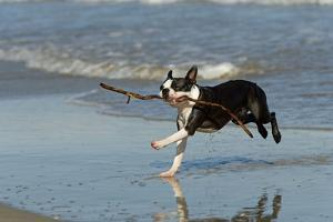 Boston Terrier Running in Sea with Stick