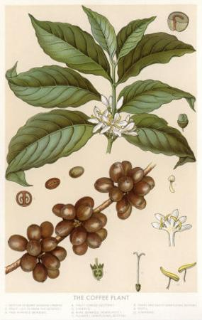 Botanical Drawing of Coffee Plant