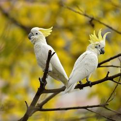 Affordable Cockatoos & Cockatiels Posters for sale at AllPosters com