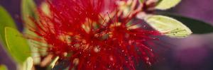 Bottlebrush Flower, Sacramento, California, USA