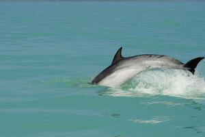Bottlenose Dolphin Diving Back into the Warer after a Jump