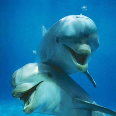 https://imgc.allpostersimages.com/img/posters/bottlenose-dolphin-two-facing-camera_u-L-Q105UKO0.jpg?p=0