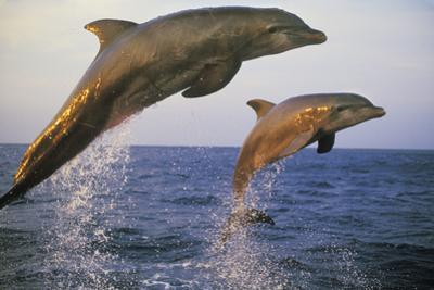 Bottlenosed Dolphin Jumping from Water in Late Evening