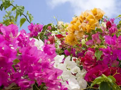 https://imgc.allpostersimages.com/img/posters/bougainvillea-cayman-brac-cayman-islands-caribbean_u-L-P2468V0.jpg?p=0