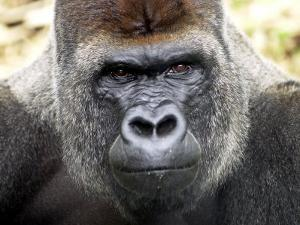 Boulas the Silverback Male Gorilla at Belfast Zoo, July 2001