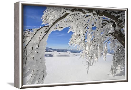bowed snowy beech, Schauinsland, Black Forest, Baden-Wurttemberg, Germany-Markus Lange-Framed Photographic Print
