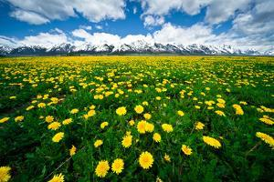 Grand Tetons, Wyoming: a Field of Dandelions Bloom Outside or Mormon Row by Brad Beck
