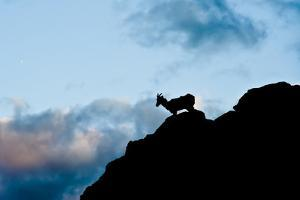 Grand Tetons, Wyoming: an Early Morning Sunrise Shows Silhouettes of Big Horn Sheep by Brad Beck