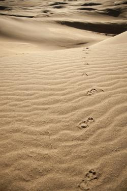 Great Sand Dunes, Colorado: Fresh Paw Prints from a Coyote Wandering the Dunes by Brad Beck