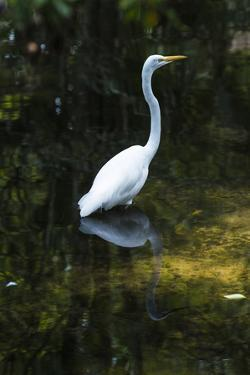 Homosassa Springs State Park, Florida: a Great Egret Fishes in the Water by Brad Beck