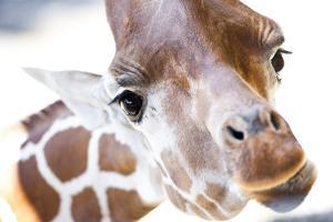 Jacksonville, Florida: a Giraffe Taking a Moment Stares into the Lens for a Photo by Brad Beck