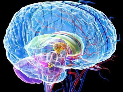https://imgc.allpostersimages.com/img/posters/brain-anatomy-artwork_u-L-PZGCTP0.jpg?artPerspective=n