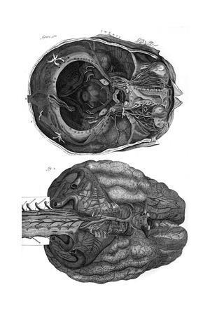 https://imgc.allpostersimages.com/img/posters/brain-and-cerebellum_u-L-PS1AUN0.jpg?artPerspective=n