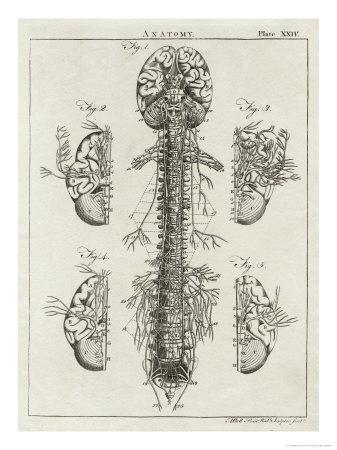 https://imgc.allpostersimages.com/img/posters/brain-and-spinal-column_u-L-OR1PH0.jpg?p=0