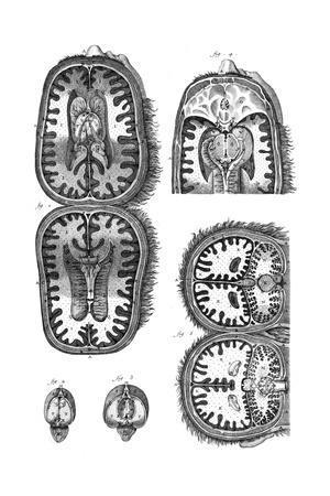 https://imgc.allpostersimages.com/img/posters/brain-cavities-18th-c_u-L-PS1MDZ0.jpg?artPerspective=n