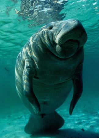 West Indian Manatee by Brandon Cole