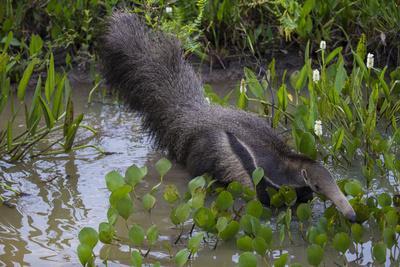 https://imgc.allpostersimages.com/img/posters/brazil-a-giant-anteater-in-the-pantanal_u-L-Q1CZOIH0.jpg?p=0