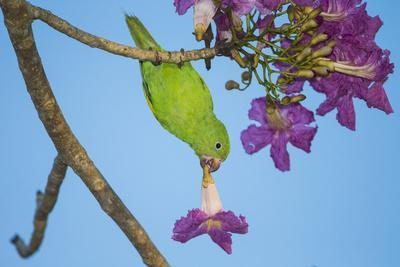 https://imgc.allpostersimages.com/img/posters/brazil-a-yellow-chevroned-parakeet-harvesting-the-blossoms-of-a-pink-trumpet-tree-in-the-pantanal_u-L-Q1CZMK30.jpg?p=0
