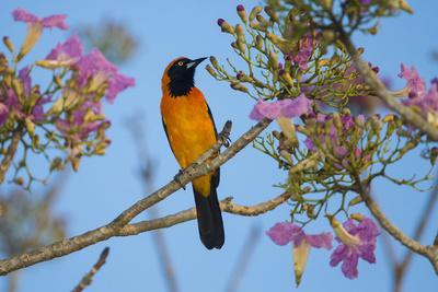 https://imgc.allpostersimages.com/img/posters/brazil-an-orange-backed-troupial-harvesting-the-blossoms-of-a-pink-trumpet-tree-in-the-pantanal_u-L-Q1CZM4C0.jpg?p=0