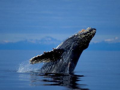 https://imgc.allpostersimages.com/img/posters/breaching-humpback-whale-inside-passage-southeast-alaska-usa_u-L-P42KEB0.jpg?p=0